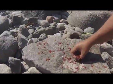 extraño comportamiento mar del norte de Chile Krill varados en tocopilla