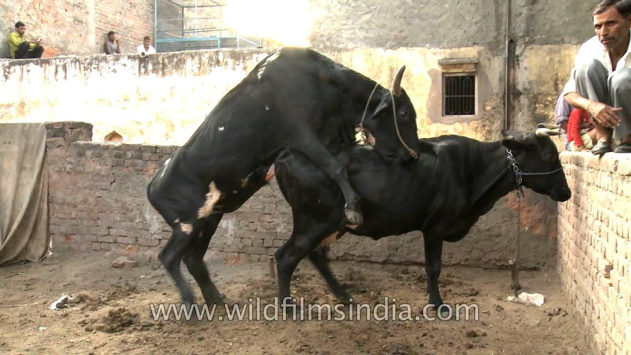 Смотреть секс коровы и быка 4 фотография
