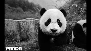 Download Lagu Imagine Dragons - Thunder (Panda Parody) Gratis STAFABAND