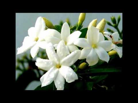 arti-mimpi-bunga-melati-putih