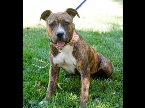 Adopt Me! Colter D2709 (Boxer / American Staffordshire Terrier Mix ...