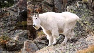 Mountain Goats In The Wilderness