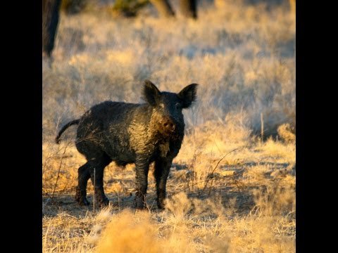 Wildlife for Lunch - January 2016 - Toxicants and Delivery System for Feral Swine