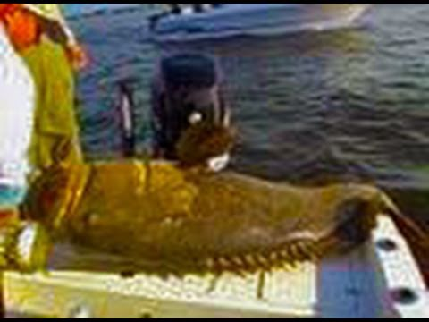 Angler catches huge giant fish!