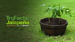How to Grow Jalapeño Peppers | TruFacts