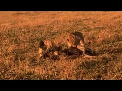 Lion hunts wildebeest - Big Cat Diary - BBC