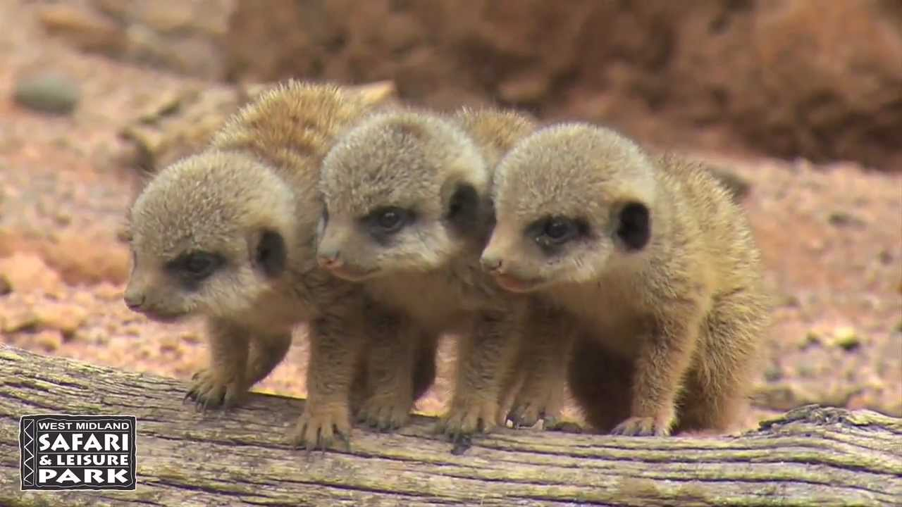 Baby Meerkats at West Midland
