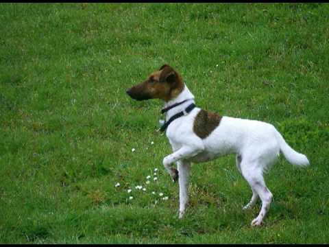 Barbet Dog Breed Information  American Kennel Club