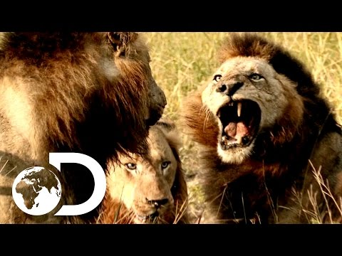 Most Savage Pack Of Lion Brothers   The Lions Of Sabi Sands