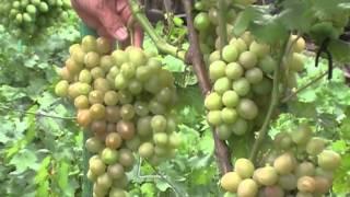 Виноградарь - сортоиспытатель, более 140 сортов в