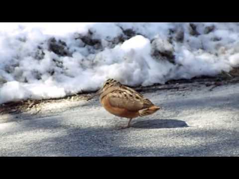 カーオーディオに合わせてノリノリで踊る鳥
