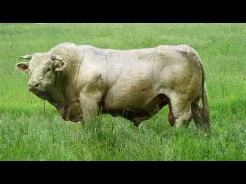 Bull Sounds and Pictures