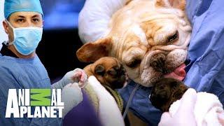 ¡Perra bulldog tiene parto por cesárea!   Veterinarios de Texas   Animal Planet
