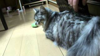 猫(モモちゃん)の発情期