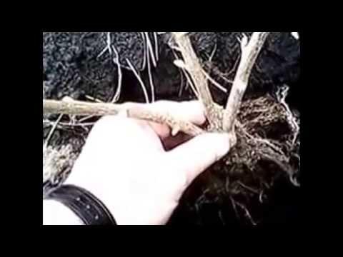 Как посадить черную смородину. Дед научил.