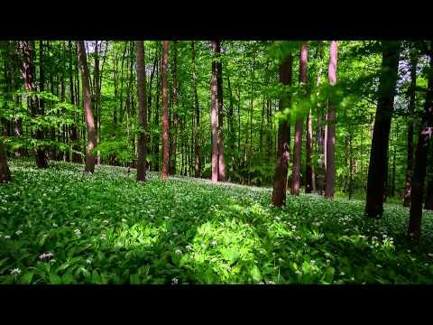 Zeitraffer: Frühling im Bärlauchwald