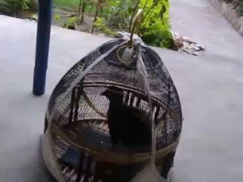 Kala Tetar M.ali Multani Chowk Chiniot Bawa Mundran Wala 03004801214 video
