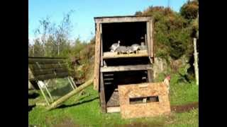 Release of Guinea Fowl