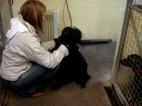 Gigsy - Springer Spaniel cross Labrador Avaliable for Adoption Video