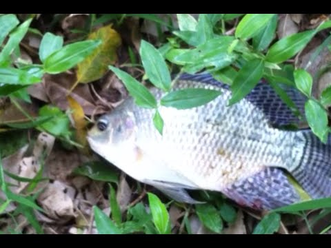 Tilapia Fishing   C  U L   C   R   Phi Ch   M Li  N T   C