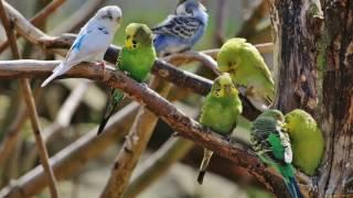 Веселое пение волнистых попугайчиков / Funny singing of wavy parrots