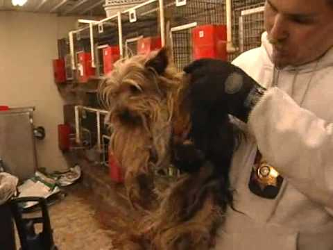 Humane Society of Missouri Rescued More Than 90 Yorkies from Substandard Puppy Mill