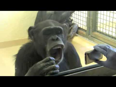 Contagious Yawning by Chimpanzees Supports Link to Empathy