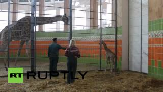 Russia: Newborn giraffe rejected by its mother faces battle for survival