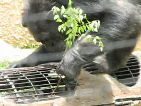えさを探すチンパンジー @東山動物園