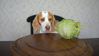 Dog vs. Spinning Cabbage: Cute Dog Maymo