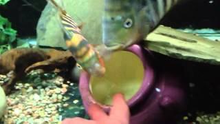 Today in the Fishroom - Hogaboomorum