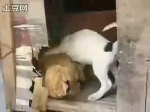 Köpek Kadın Sahibinin amını sikiyor  Sürpriz Porno Hd