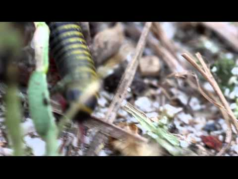 This is a macro video of a black and yellow millipede.  I shot the video with a Canon 5D Mark II usi