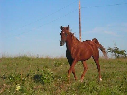 Beautiful Arabian Horses Beautiful Arabian Horse