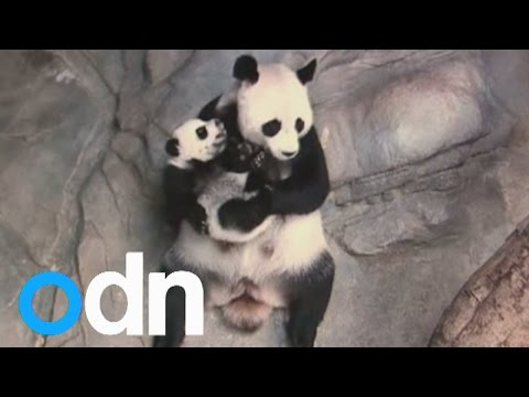 Panda triplets being reunited with their mum is lovely