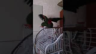 Попугай купается.Приколы с попугаем. Эклектус Гуччи купается. Как правильно купать попугая.