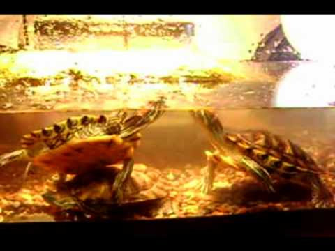 Red eared sliders mating dance/ritual