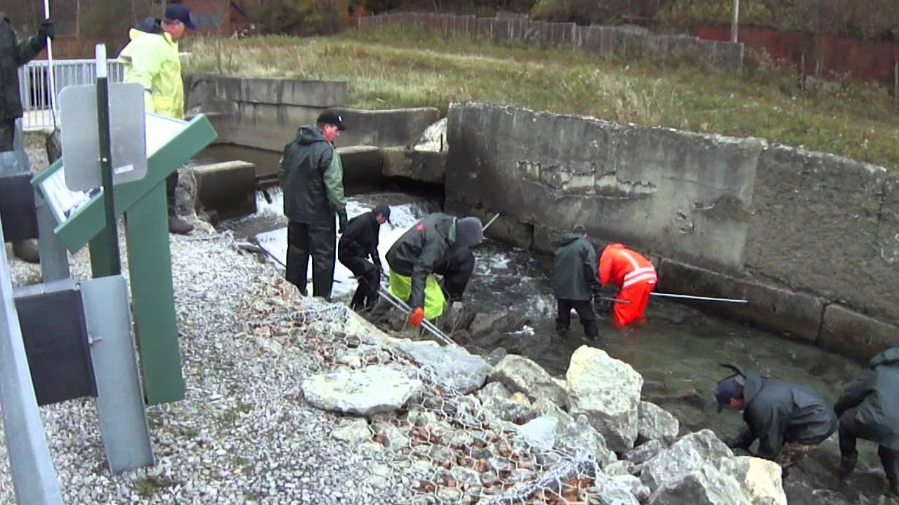 Collecting steelhead and brown trout at trout run in erie for Steelhead fishing pa