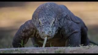 Fergus Kennedy on photographing Komodo dragons - Canon
