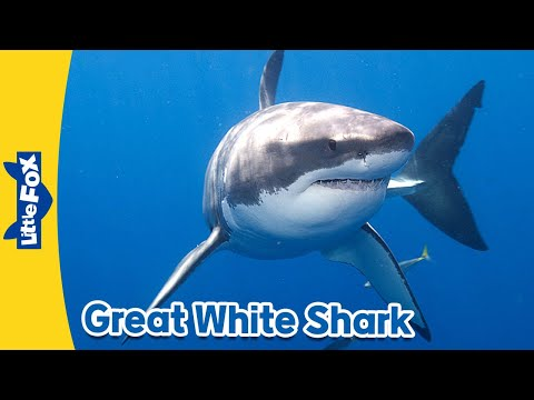 Meet the Animals 1: Great White Shark | Animated Stories by Little Fox