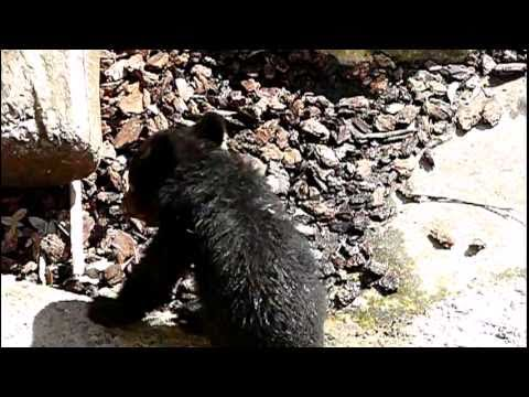 上野動物園のニホンツキノワグマの赤ちゃん。Baby Japanese black bear.#04