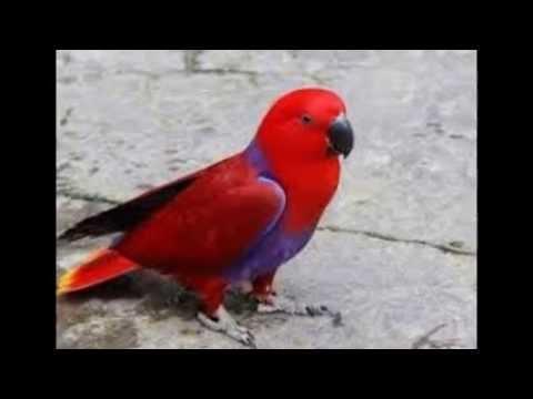 Burung Nuri Bicara Lucu video