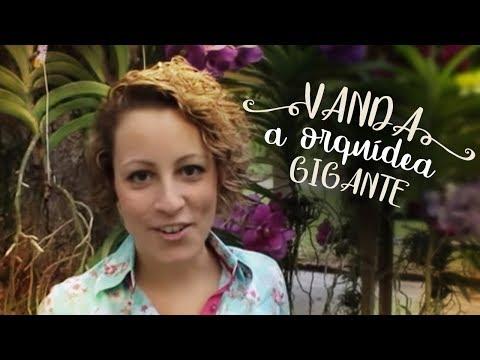 Como Cuidar de Orquídeas - Vanda. a orquídea gigante