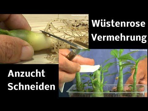 Adenium Obesum Anzucht
