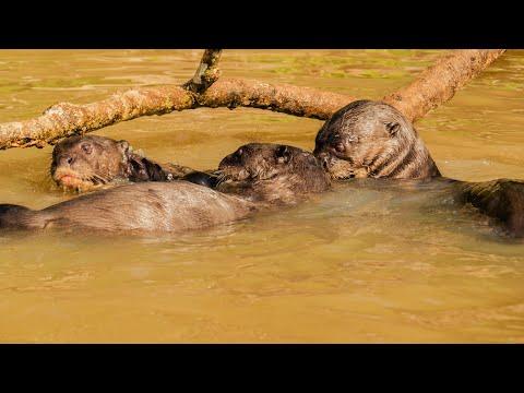 Giant Otters at Parque Nacional do Pantanal Matogrossense, North Pantanal - Brazil