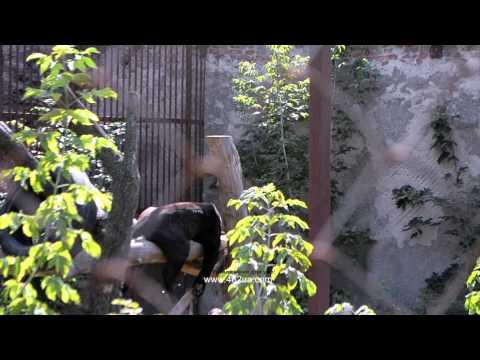 Харьковский зоопарк, спящая пантера на ветке в своей вольере
