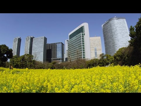 [ 4k Ultra Hd ] 浜離宮恩賜庭園の菜の花 Rape-blossoms-field At Hama-rikyu-gardens (shot On Red Epic) video