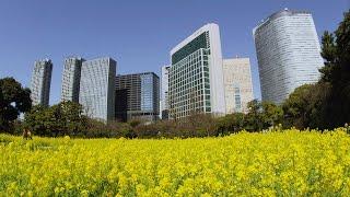 [ 4K Ultra HD ] 浜離宮恩賜庭園の菜の花 Rape-blossoms-field at Hama-Rikyu-Gardens (Shot on RED EPIC)