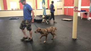 Dog Training | Sherlock | Solid K9 Training Dog Training
