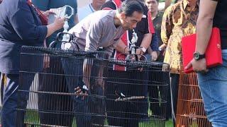 Download video Burung Milik Jokowi Kalah di Lomba Kicau Burung